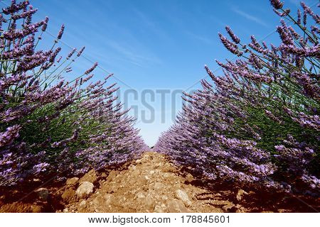 Beautiful lavender flowers photographed at ground level