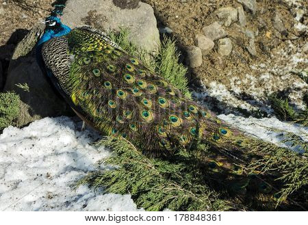 A lonely peacock with a magnificent bright tail on snow-covered ground.