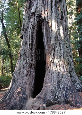 long scar in redwood tree opens into hollow center