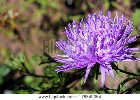 Dark purple chrysanthemum on a green background