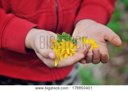 Spring yellow flowers in children's hands. Close
