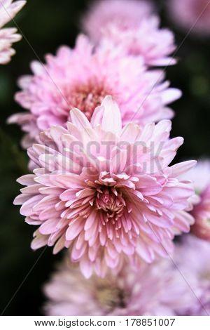 Light pink chrysanthemum on a dark background
