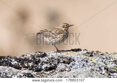 Meadow pipit (Anthus pratensis) on rock, profile. Small brown songbird in the family Motacillidae perched on rock in Dartmoor Narional Park Devon UK