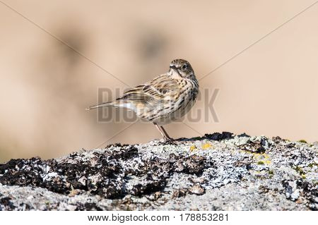 Meadow pipit (Anthus pratensis) on rock head on. Small brown songbird in the family Motacillidae perched on rock in Dartmoor Narional Park Devon UK