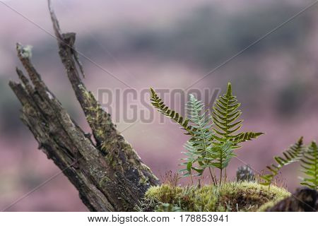 Polypody (Polypodium vulgare) and moss on branch. Fronds of true fern in the family Polypodiaceae also known as rockcap fern showing sori and sporangia on underside