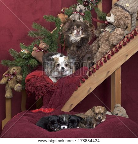 Chihuahuas in jacket and puppies posing, in christmas decorations