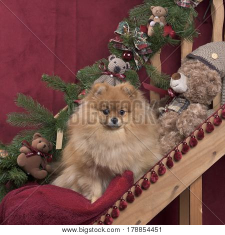 Pomeranian in Christmas decoration