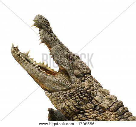 Alligator Isolated
