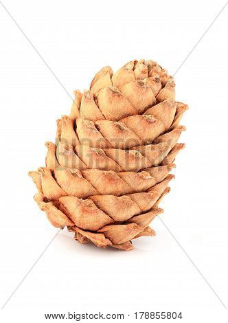 Cedar pine cone isolated on white background.