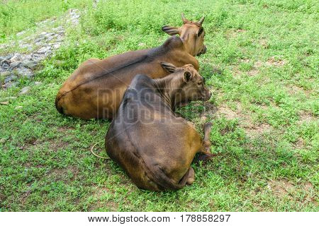 Cow is resting at Kiriwong Village in Thailand