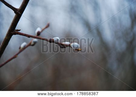 White fluffy willow catkins on a twig by a blurred background