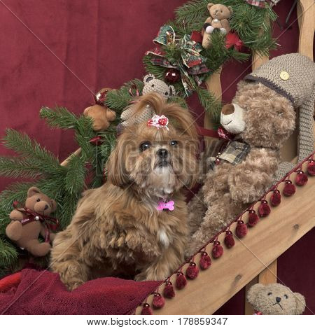 Shih tzu in Christmas decoration