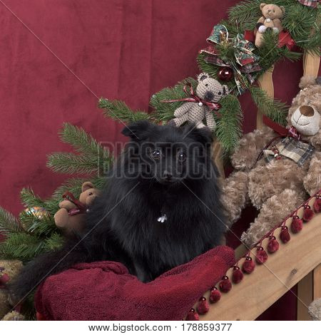 Black german spitz in Christmas decoration