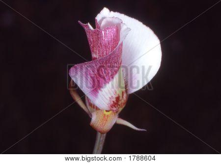 Mariposatulip
