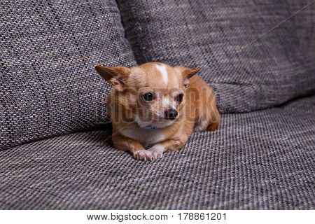 Chihuahua puppy. Adorable dog lying on sofa. Cute looking purebred pet.