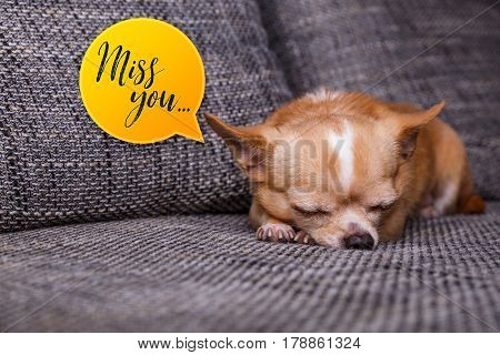 Chihuahua puppy sleep. Miss you speech bubble. Adorable dog lying on sofa. Cute looking purebred pet.