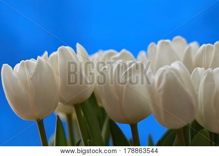 Bouqet of white tulips on blue background. Spring composition