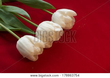 Fine art of close-up Tulips blurred and sharp White tulip on a red velvet background with bokeh