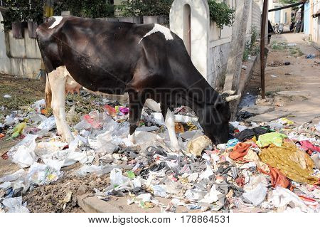 Hungry Brahmin cow eating trash on the street of Mysore on India