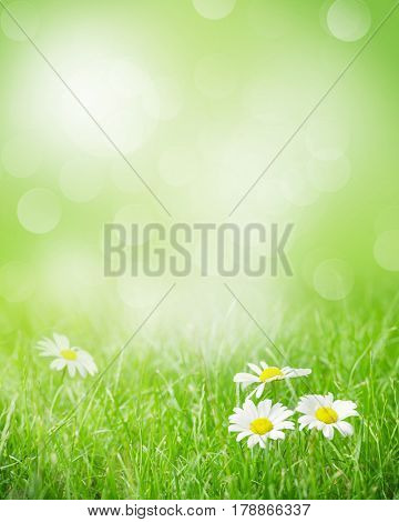 Chamomile flowers on grass field on sunny summer day. View with copy space