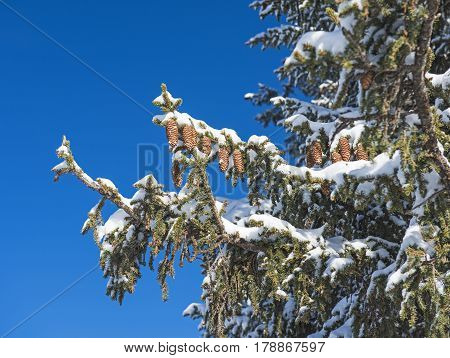 Snow Covered Conifeous Pine Tree With Cones