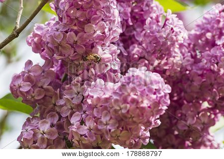 Bee In A Lilac Flower