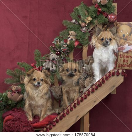 Three chihuahuas sitting, in christmas decorations