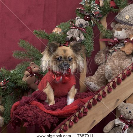 Chihuahua with red jacket in Christmas decoration