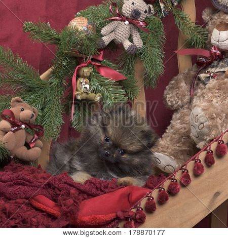 Puppy Pomeranian in Christmas decoration, 11 weeks old