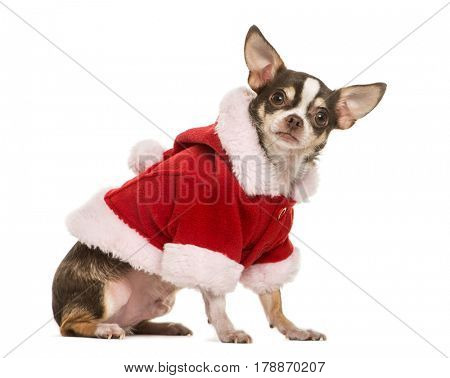 Chihuahua with a christmas jacket, 2 years old, isolated on white