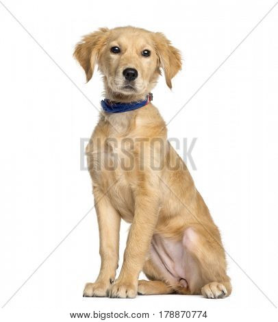 Golden Retriever sitting, 4 months old, isolated on white
