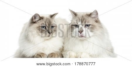 Two Ragdoll lying, 2 years old, isolated on white