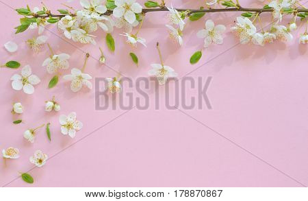 Cherry blossom on pink paper background, close up