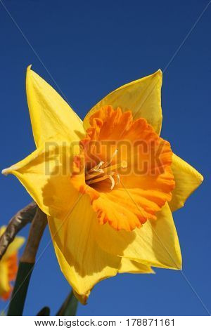 Closeup of yellow daffodil flower and blue sky