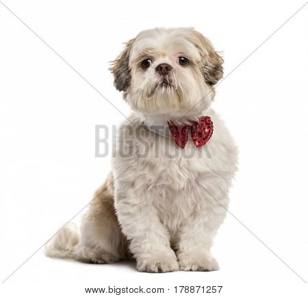 Shih Tzu sitting with a bow tie, isolated on white