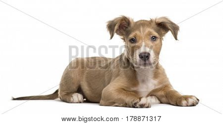 Mixed breed dog lying, isolated on white