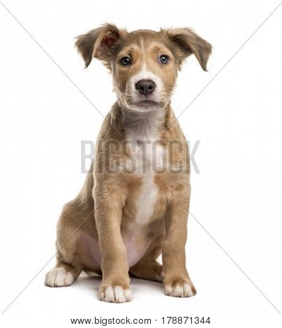 Mixed breed dog sitting, isolated on white