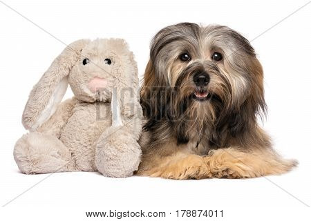 Cute Havanese dog lying with a rabbit plush toy - isolated on white background