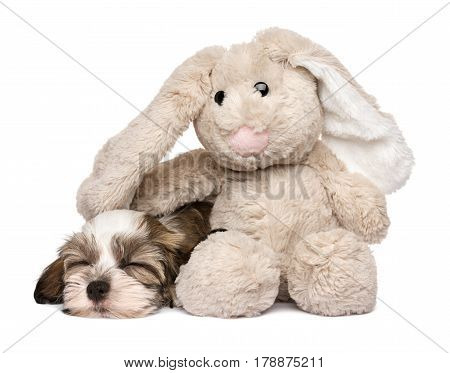 Little Havanese puppy dog sleeping with a rabbit plush toy - isolated on white background