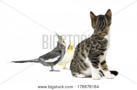 Cat looking at two cockatiel, isolated on white