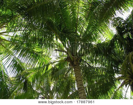Looking up at a Coconut Tree