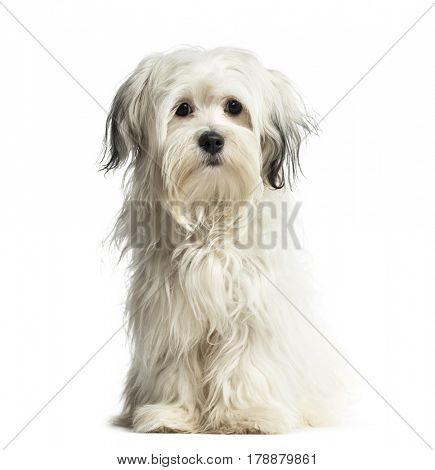 Puppy Shih Tzu sitting, 6 months old, isolated on white