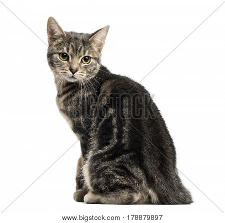 European cat sitting, looking backwards, isolated on white
