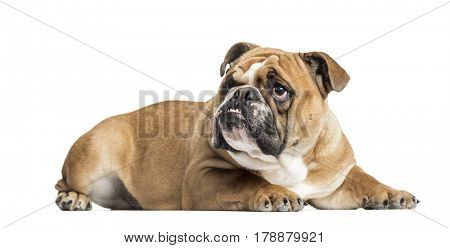 English Bulldog lying and looking up, 11 months old, isolated on white