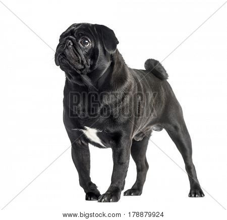 Black Pug standing and looking away, 2 years old, isolated on white