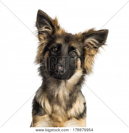 Close-up of a German Shepherd Dog puppy, 4 months old, isolated on white
