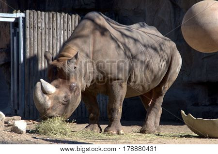 Eastern Black Rhinoceros eating its food outside on a sunny day