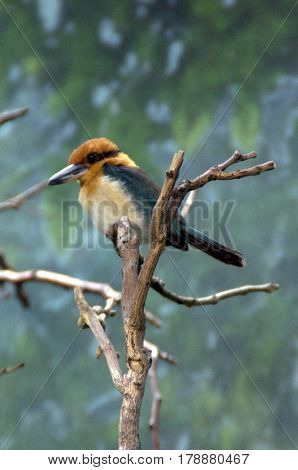 Guam Micronesian Kingfisher bird perched on a tree branch