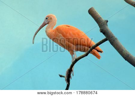 Hadada Ibis resting on a tree branch