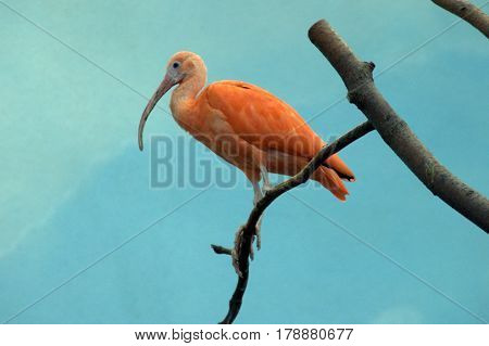 Hadada Ibis watching from a tree branch